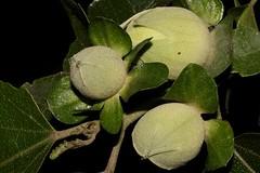 Hibiscus insularis (andreas lambrianides) Tags: hibiscusinsularis malvaceae phillipislandhibiscus australianflora australiannativeplants australiannativeflowers flowerbuds threatenedspecies