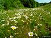 Margeritenwiese (MacroManni) Tags: morgenspaziergang deutschland germany rheinerftkreis peringsmaar blumenwiese margeriten flowers marguerite naturschutzgebiet
