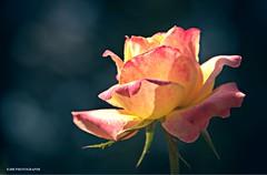 (JSB PHOTOGRAPHS) Tags: dsc1434 d1 nikon owenmemorialrosegarden owenrosegarden rose on1 on1raw vintage teal 18300mm