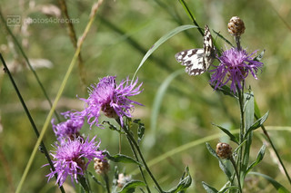 the butterfly & the thistles