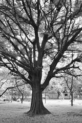 My favourite tree! (Ramesh Adkoli) Tags: landscape jayanagar bw blackwhite d500 capturenx