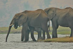 Time for a quick drink... (stevelamb007) Tags: fog botswana chobenationalpark choberiver kasane elephants stevelamb nikon nikkor africa africanwildlife 300mmf4 d70s