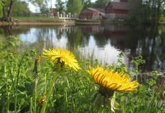 (helena.e) Tags: helenae filipstad ålga husbil motorhome dandelion maskros gul yellow blomma flower munkeberg munkebergscamping camping lersjön