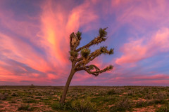 Joshua Tree Sunset (NickSouvall) Tags: joshua tree trees desert landscape nature pink orange red blue clear color colorful sky lonely lone highway road middle nowhere california photo photography wild wilderness adventure sunset beautiful explore roadtrip clouds