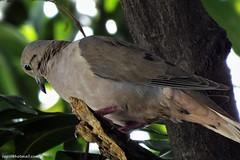 Palomita montera (Zenaida auriculata) (cepsl) Tags: birds pigeon wildlife zenaidaauriculata aves columbiformes columbidae eareddove palomitamontera torcazanagüiblanca tórtolacomún abuelita