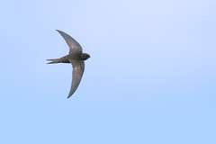Swift (Andrew_Leggett) Tags: swift apusapus bird sky blue summer inflight onthewing nature natural wild rspboldmoor andrewleggett