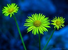 ~3~ (evanffitzer) Tags: canoneos60d yard yellow flowers macro 100mm evanfitzer evanffitzer petals lightroom colour outside daisy stem
