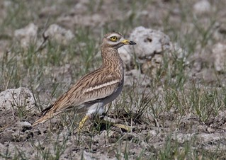 Stone Curlew , Such great Birds !
