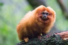 DSC00661 (sylviagreve) Tags: 2017 apenheul goldenliontamarin apeldoorn gelderland netherlands nl