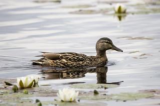 Female mallard navigating the water lillies on Loch Garten