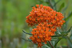 Wildflowers, Butterfly Milkweed (Wild Bill in MN) Tags: wildflower sonya77m2135stfstf orange butterflyweed butterflymilkweed asclepiastuberosa