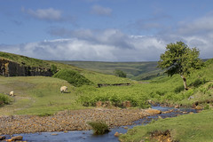 Bollihope (jimsumo999) Tags: bollihope weardale stream lonely tree sheep lamb green verdant landscape canon sigma eos