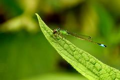 Insect (Explored) (l-vandervegt) Tags: 2017 nederland netherlands holland niederlande paysbas overijssel twente ypelo doorbraak natuur nature insect green groen