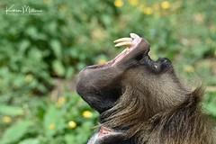 Gelada Baboon (Karen Miller Photography) Tags: edinburghzoo zoo captivity captive edinburgh geladobaboon baboon teeth fangs animal nikon rzss scotland enclosures karenmillerphotography