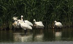 408A2420 (bonser54) Tags: wildbirds wildlife waders spoonbill rspb blacktoft sands ngc