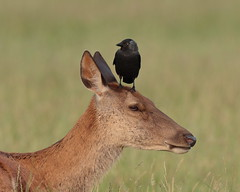 Birdbrain (Hammerchewer) Tags: reddeer deer hind animal wildlife outdoor
