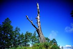 DSC07852 (rc90459) Tags: 最後的夫妻樹 夫妻樹 塔塔加 玉山