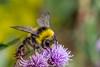 BuffTailedBumbleBee-0004.jpg (vorneo) Tags: bumblebee classinsecta kingdomanimalia bufftailedbumblebee orderhymenoptera wild familyapidae genusbombus phylumarthropoda insect speciesbterrestris subgenusbombus binomialnamebombusterrestris