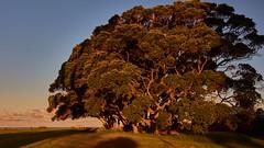 The tree my friend (flowerikka) Tags: autumn bayofplenty beach blue coast coromandelpeninsula grass grasshills grassymeadow meadow nature newzealand northisland sun sunset tree view