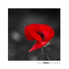 RED (Der Zeit die Augenblicke stehlen) Tags: blumenundpflanzen deutschland eos700d fokussiert hth56 hohequalität makro sommer thomashesse colorkey mohn mohnblüte poppy