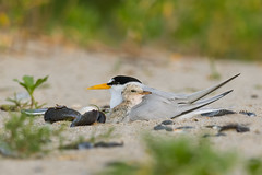 Under Momma's Wing... (PhillymanPete) Tags: leasttern mother sand beach wildlife sternulaantillarum tern nature baby belmarbeach chick shore bird babybird belmar shells newjersey unitedstates us nikon d500