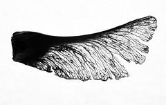 Silhuette (Antti Tassberg) Tags: siemen bw vaahtera silhouette luonto macro 100mm blackandwhite lens maple monochrome nature prime puu tree mondays texture structure seethrough