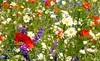 Farbenrausch (diwe39) Tags: mohn kornblumen vogelwicke margeriten wiese acker wildblumen sommer2017