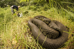 Snake in the Grass (antonsrkn) Tags: natrix grass snake europe uk herpetofauna nature animal wild wildlife norfolk hidden interaction behavior reptile herp herpetology colubridae colubrid grassy forest human girl england greatbritain british travel explore biology nikon