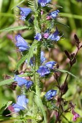 Viper's-bugloss. Echium vulgare (gailhampshire) Tags: vipersbugloss echium vulgare taxonomy:binomial=echiumvulgare