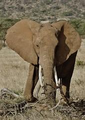 Female Elephant (Susan Roehl) Tags: kenya2015 samburunationalreserve kenya femaleelephant mammal animal herbivore sueroehl takenfromjeep slightlycropped outdoors ewasongiroriver park165kminsize 350kilometersfromnairobi pentaxk3 sigma150500mmlens sunrays5 coth5 ngc npc