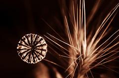 macro poppy :D (Claudio Taras) Tags: sigma monocromo monochrom macro shadow flower fiori sepia stilllife natura naturamorta claudio contrasto taras trier toned bw bokeh biancoenero bianco bokehlicious