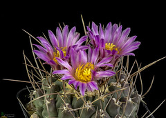 Thelocactus palomaensis (clement_peiffer) Tags: thelocactus palomaensis flowerscolors d7100 105mm cactaceae succulent peiffer clement nikon cactus fleurs flower spines epines kaktusi кактуси rose pink