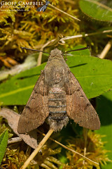 Hummingbird Hawk-moth (Macroglossum stellatarum) (gcampbellphoto) Tags: hummingbirdhawkmoth macroglossumstellatarum moth insect macro nature wildlife migration animal northernireland gcampbellphoto