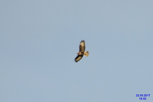 Honey buzzard (Elies)