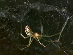 Sheet Web Weaver spider hanging from its dome-like web (Treebeard) Tags: buttshot dome spider web sheetwebweaver filmydomespider nerieneradiata linyphiidae sanmarcospass santabarbaracounty california