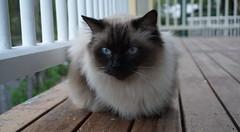 The Two Sides of Pris Cat (interestedbystandr) Tags: pris cat verandah