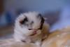 NIRVANA (marygrany) Tags: chaton persan