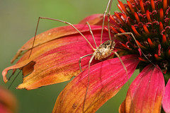 Get lost, this is my flower! (Wim van Bezouw) Tags: flower spider macro bokeh sony ilce7m2 insect nature