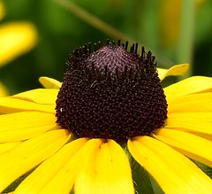Black Eyed Susan (NettaT) Tags: flower black yellow blackeyedsusan rudbeckia hirta wildflower nature flora plant colour bright macro texture