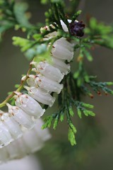 Batona Trail (elisecavicchi) Tags: pine barrens leatherleaf blossom dew dawn batona trail spruce new jersey