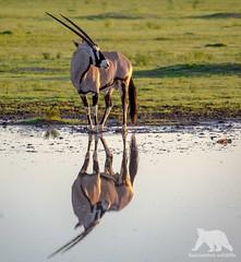 Oryx Reflections (fascinationwildlife) Tags: animal mammal oryx antelope reflections water spiesbock gemsbock wild wildlife nature natur national park summer south africa kgalagadi kalahari ktp transfrontier desert safari dusk