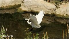 planare (imma.brunetti) Tags: uccelli fiume mugnone piume becco zampe firenze airone acqua riflessi vegetazione canne rocce toscana alghe natura
