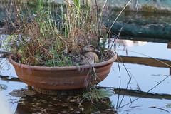 camouflage..:-) (Carla@) Tags: germanoreale anasplatyrhynchos mallard wildlife birds nature liguria italia europa mfcc canon explorenaturethewildnature thesunshinegroup coth alittlebeauty sunrays5 coth5