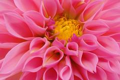 Dahlia (Sandyp.com) Tags: dahlia macro flower closeup sonyalpha sonya7rii topazsoftware