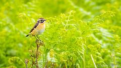 Whinchat - Saxicola rubetra (Liquidparadox) Tags: whinchat saxicolarubetra canon 500mm 1dx2 scotland isleofmull small bird