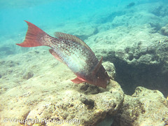 Hanauma Bay 15 (venusnep) Tags: hanaumabay hanauma bay underwater tropicalfish tropical fish iphone watershot watershotpro hawaii snorkeling travel travelphotography may 2018