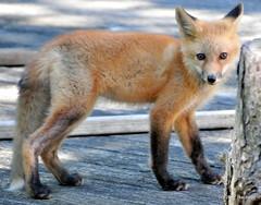 DSC_0838 (rachidH) Tags: fox renard vulpes foxcub renardeau redfox renardroux vulpesvulpes backyard frontyard wildlife sparta newjersey nj rachidh nature