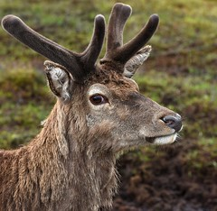 I'M IN CHARGE ..... WILD RED HART By Angela Wilson (angelawilson2222) Tags: creature mammal hart red deer wild wildlife nature glen coe scotland angela wilson nikon portrait moorland heath
