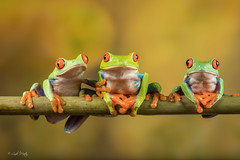 Friends Together (Linda Martin Photography) Tags: captivelight agalychniscallidryas redeyedtreefrog frogworkshop bournemouth uk coth ngc npc sunrays5