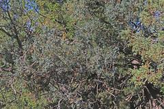 CAD0016251a (jerryoldenettel) Tags: 170610 2017 cupressaceae juniper juniperus juniperusmonosperma nm oneseededjuniper pinales pinopsida rowemesa sanmiguelco bush tree